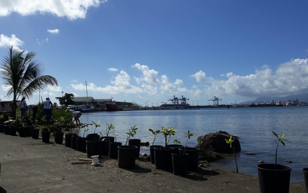 Une nouvelle mangrove à Bergevin : 240 palétuviers implantés en milieu naturel